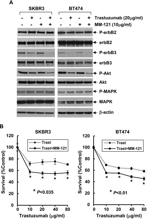 MM-121 enhances trastuzumab-mediated inactivation of Akt and growth inhibition in two erbB2+ breast cancer cell lines. A , SKBR3 and BT474 breast cancer cells were untreated or treated with either trastuzumab or MM-121 alone, or their combinations for 24 hrs. Cells were collected and subjected to western blot analyses of P-erbB2, erbB2, P-erbB3, erbB3, P-Akt, Akt, P-MAPK, MAPK, or β-actin. B , SKBR3 and BT474 cells were plated onto 96-well plates and incubated at 37°C with 5% CO2. After 24 hrs, the culture medium was replaced with 0.1 ml fresh medium containing 0.5% FBS or the same medium containing the indicated concentrations of trastuzumab in the absence (Trast) or presence (Trast + MM-121) of MM-121 (10 μg/ml) for another 72 hrs. The percentages of surviving cells from each cell line relative to controls, defined as 100% survival, were determined by reduction of MTS. Bars , SD. Data show a representative of three independent experiments.