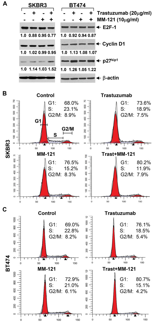 The addition of MM-121 enhances trastuzumab-induced cell cycle G1 arrest in erbB2+ breast cancer cell lines. SKBR3 and BT474 cells were untreated or treated with either trastuzumab or MM-121 alone, or their combinations for 24 hrs. A , Half of the cells were collected and subjected to western blot analyses with specific antibodies directed against E2F-1, Cyclin D1, p27 kip1 , or β-actin. The densitometry analyses of E2F-1, Cyclin D1, and p27 kip1 signals were shown underneath, and the arbitrary numbers indicate the intensities of each sample relative to controls, defined as 1.0. B C , The other half of the cells were collected for analysis of cell cycle distributions by flow cytometry as described in the Materials and Methods. Data show a representative of three independent experiments.