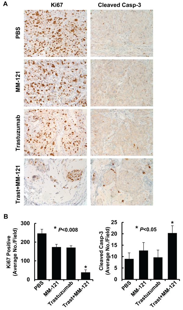 The combination of MM-121 and trastuzumab significantly inhibits proliferation and induces apoptosis of trastuzumab-resistant BT474-HR20 breast cancer cells in vivo . The tumors obtained from the animal studies described above were evaluated by IHC analysis of <t>Ki67</t> and cleaved caspase-3. A , Data show the representative images of the immunostaining of Ki67 and cleaved caspase-3 (Cleaved Casp-3). B , The IHC slides were observed by two independent personnel. The tumor cells with positive staining of Ki67 or cleaved caspase-3 were counted from three randomly selected areas in each slide. The three areas were first identified by scanning the entire slide at ×10 magnification, and then the positive staining cells were counted at ×20 magnification using an Olympus BX40 Microscope. The bar graphs show the average of positive staining cells in each field. Bars , SD. The combinatorial treated mice had significantly fewer cells stained positive for Ki67 and more cells stained positive for cleaved caspase-3 than control mice or single Ab treated mice, P