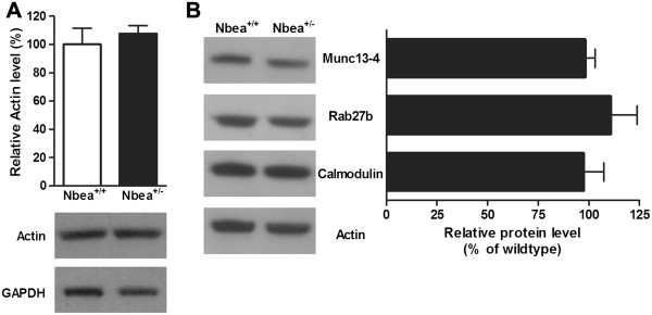 Normal expression of actin and the proteins involved in dense granule formation and secretion in platelets of Nbea +/- mice. (A) Western blot analysis detected no changes in the total actin levels in platelets of Nbea +/- mice compared to Nbea +/+ mice. Actin expression was normalized to the glyceraldehyde-3-phosphate dehydrogenase (GAPDH) content and the expression in platelets of wild-type mice was set at 100% (n = 4/genotype). (B) The total amount of Munc13-4, Rab27b and Calmodulin was unaltered in platelets of Nbea +/- mice. Protein levels were normalized to actin and the expression level in platelets of Nbea +/+ mice was set at 100% (n = 4 samples/genotype).