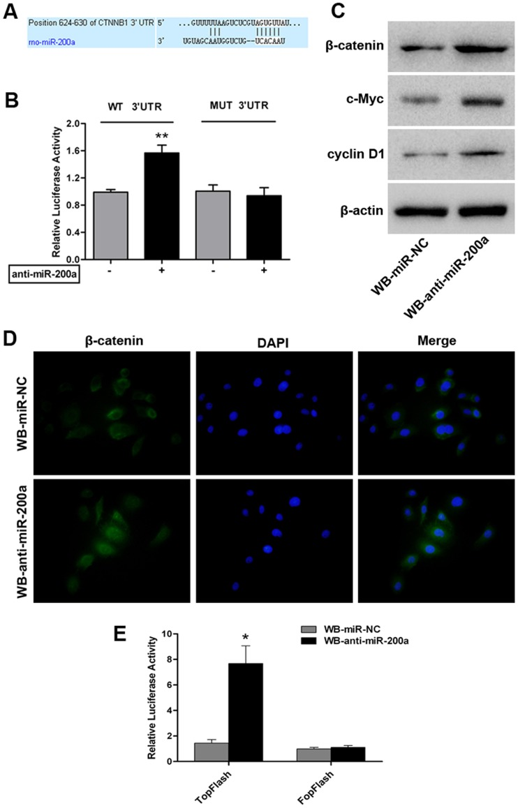 miR-200a directly targets CTNNB1 and associates with Wnt/β-catenin pathway activity in WB cells. (A) Predicted alignment of miR-200a and a potential binding site at the 3′-UTR of rat CTNNB1 mRNA (624–630 nt) by TargetScan. (B) Effect of miR-200a on CTNNB1 expression determined by a luciferase reporter assay. WB cells were co-transfected with anti-miR-200a (or anti-miR-control) and the pGL3-CTNNB1-wt (or pGL3-CTNNB1-mut) vector. Data are normalized by the ratio of Firefly and Renilla luciferase activities measured at 48 h post-transfection and are shown as the mean ± SD; n = 3; **, p