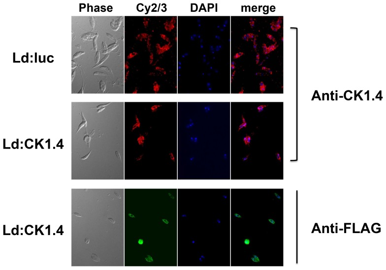 Localization of CK1.4 in Leishmania donovani promastigotes by immunefluorescent staining with anti-FLAG and anti-CK1.4 antibodies. Logarithmic stage Ld:CK1.4-FLAG (Panels Ld:CK1.4) and Ld:LUC (Panels Ld:luc) promastigotes were fixed in 4% paraformaldehyde, centrifuged onto poly-L-lysine coated slides, and permeabilized with ice cold methanol. The slides were incubated with anti-FLAG M2 monoclonal antibodies (1/500 dilution), rabbit anti-CK1.4 polyclonal antibodies (1/7500 dilution), or buffer alone. Staining was carried out by incubating slides in appropriate secondary antibody, either Cy2-goat anti-mouse IgG or Cy3-goat anti-rabbit IgG (Panel Cy2/3; 1/200 dilution), and mounted in Fluoroshield with DAPI (Panel DAPI). The immunofluorescence examined using an Apochromat oil immersion objective (100×magnification) on an Olympus IX71S8F microscope.