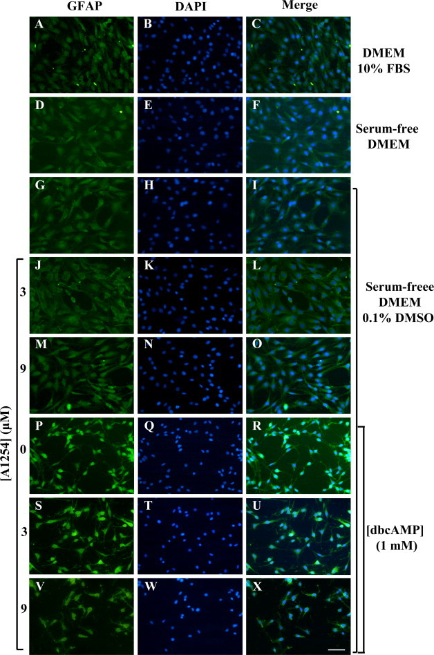 Effects of A1254 exposure on GFAP immunoreactivity in dbcAMP differentiating C6 cells. C6 cells were subjected to different treatments, fixed and then immunocytochemistry was performed as detailed in Section 2.4 . C6 cells were cultured in DMEM with 10% FBS (A–C) or kept in serum-free DMEM in presence (G–I) or absence (D–F) of 0.1% (v/v) DMSO (vehicle). Cells exposed to: 3 μM A1254 (J–L); 9 μM A1254 (M–O); 1 mM dbcAMP (P–R). dbcAMP-differentiating cells exposed to A1254 3 μM (S–U) or 9 μM (V–X). After the treatments, cells were subjected to GFAP immunostaining (green) (A, D, G, J, M, P, S and V). DAPI-nuclear stain (blue) of the same field (B, E, H, K, N, Q, T and W). Merge for composite images (C, F, I, L, O, R, U and X). All the treatments were performed for 24 h under serum-free conditions in presence of 0.1% (v/v) DMSO used as vehicle for A1254. Scale bar = 50 μm. (For interpretation of color in Fig. 3, the reader is referred to the web version of this article.)