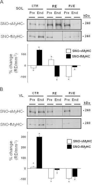 BST detection of SNO-myosin heavy chain (MyHC) proteins in bed rest muscle biopsies. A. Immunoblotted BST streptavidin column eluate of SOL investigated for the presence of fast- ( upper panel ) and slow-type ( lower panel ) MyHC. Significant decrease in slow-type (−22%, p ≤0.05) and increase in fast-type (138%, p ≤0.01) MyHC was present in CTR ( n =9) End bed rest biopsies. In the RE group ( n =7), an increase of slow-type (51%, p ≤0.01) and a decrease of fast-type (−99%, p ≤0.01) MyHC was seen. In the RVE ( n =4) group, both slow-type (−99%, p ≤0.01) and fast-type (−16%, p ≤0.05) MyHCs levels were equally decreased. B. Slow- and fast-type MyHC (s/fMyHC) immunoblot analysis of BST streptavidin column eluate of VL. Significant increase of slow-type (13%, p ≤0.05, lower panel ) and fast-type (300%, p ≤0.01) MyHCs were present in CTR ( n =9) End bed rest biopsies. In the RE group ( n =7), a decrease of slow-type (−92%, p ≤0.01) and fast-type (−15%, p ≤0.05) MyHC was present. In the RVE group ( n =7), both slow- (−95%, p ≤0.01) and fast-type (−80%, p ≤0.01) MyHC levels were equally decreased.