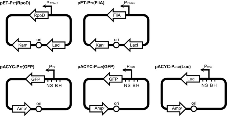 Schematic representation of the pET-P T7 (RpoD), pET-P T7 (FliA), pACYC-P T7 (GFP), pACYC-P rrnB (GFP), and pACYC-P rrnB (Luc) plasmids. Ori, Escherichia coli replication origin; Kan r and Amp r , genes conferring resistance to kanamycin and ampicillin, respectively; RpoD, OY-M rpoD gene without its own promoter; FliA, OY-M fliA gene without its own promoter; Lac I, lactose repressor; P T7/lacI , T7 promoter regulated by Lac I; P rrnB , transcription promoter of the OY-M rrnB gene; GFP, gfp reporter gene; Luc, luciferase reporter gene; N, Nde I; S, Sal I; B, Bgl II; H, Hin dIII.