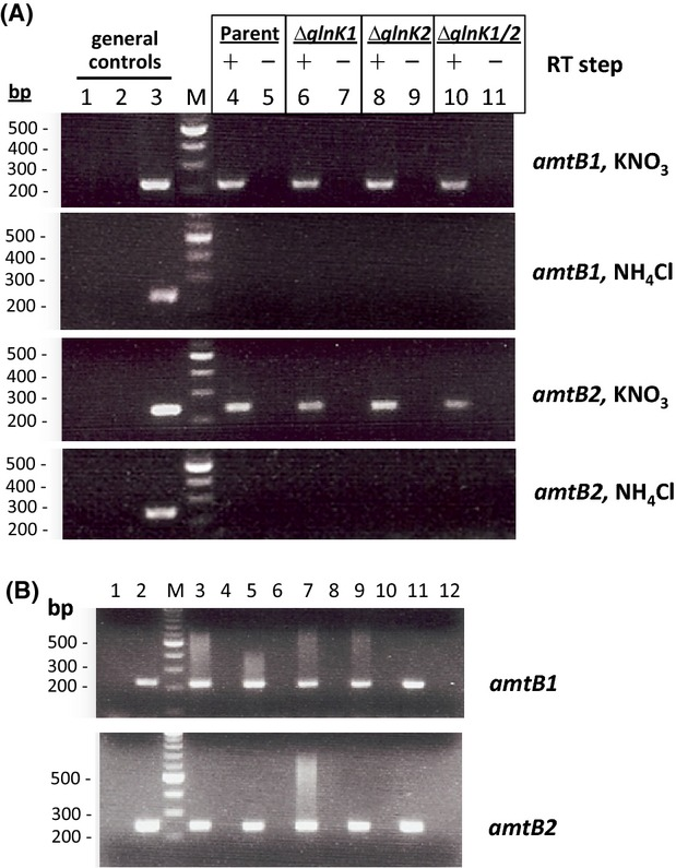RT-PCR analysis of amtB-glnK transcription in ΔglnK and flag:amtB mutant strains. (A) RT-PCR analysis of amtB-glnK transcription in ΔglnK strains. First panel: nitrate RNA samples amplified with amtB1 primers; second panel: ammonium RNA samples amplified with amtB1 primers; third panel: nitrate RNA samples amplified with amtB2 primers; fourth panel: ammonium RNA samples amplified with amtB2 primers. Lanes correspond to the following PCR products: (1) PCR negative control (water instead of template cDNA), (2) RT negative control (cDNA obtained from RT reactions without template RNA), (3) PCR positive control (genomic DNA amplification), (M) Quick-Load 100 bp DNA Ladder from New England Biolabs , (4 and 5) HM26 RNA sample and corresponding negative control (cDNA obtained from RT reaction with RNA but without retrotranscriptase), (6 and 7) HM26-K1 RNA sample and corresponding negative control, (8 and 9) HM26-K2 RNA sample and corresponding negative control, (10 and 11) HM26-K1K2 RNA sample and corresponding negative control. (B) RT-PCR analysis of the amtB transcription in flag:amtB strains. The four Flag-tagged strains and HM26 as control were grown in complex medium (OD 600 of 1) and nitrogen starved for 48 h prior to RNA isolation. Lanes correspond to (1) negative control for the PCR reaction performed in the absence of cDNA, (2) positive control with genomic DNA as PCR template, (M) Quick-Load 100 bp DNA Ladder from New England Biolabs , (3 and 4) HM26 RT-PCR reaction and negative control in the absence of retrotranscriptase to check for DNA contamination, respectively, the same for (5 and 6) HM26-F1, (7 and 8) HM26-F2, (9 and 10) HM26-F3, (11 and 12) HM26-F4. (A) and (B) RT of the RNA samples was performed with random hexamers and PCR amplification of cDNA with amtB1 and amtB2 specific primers (RT-Amt1For/RT-Amt1Rev and RT-Amt2For/RT-Amt2Rev, respectively). PCR amplification products of the cDNA separated by 1.8% (w/v) agarose gel electrophoresis and stained with ethidium bromide are presented.
