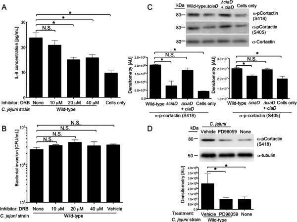 Erk 1/2 is necessary for cytosolic signaling required for maximal  C. jejuni  invasion of host cell. A . INT 407 cells were infected with  C. jejuni  incubated for 6 h, and IL-8 quantified using an IL-8 ELISA. The transcription inhibitor 5,6-dichloro-1-beta-D-ribofuranosylbenzimidazole (DRB) was added to INT 407 cells for 30 min prior to infection with a  C. jejuni  wild-type strain.  B . Transcription is not required for  C. jejuni  invasion. INT 407 cells were infected with  C. jejuni  and invasion was assessed.  C . CiaD is required for serine phosphorylation of cortactin. INT 407 cells were infected with the various  C. jejuni  strains and cellular lysates were prepared. Blots were probed with phospho-specific antibodies to cortactin. The blot was stripped and re-probed with an α-cortactin antibody. Densitometry of p-cortactin is shown as the ratio of p-cortactin to total cortactin (t-cortactin) for each sample.  D . Erk 1/2 is required for serine phosphorylation of cortactin. INT 407 cells were pre-treated with PD98059, an inhibitor of Erk 1/2 activation, and infected with a  C. jejuni  wild-type strain. Blots were probed with a phospho-specific antibody to cortactin. The blot was stripped and re-probed with an α-tubulin antibody. Molecular masses, in kilodaltons (kDa), are indicated on the left. The asterisks indicate a significant difference ( P