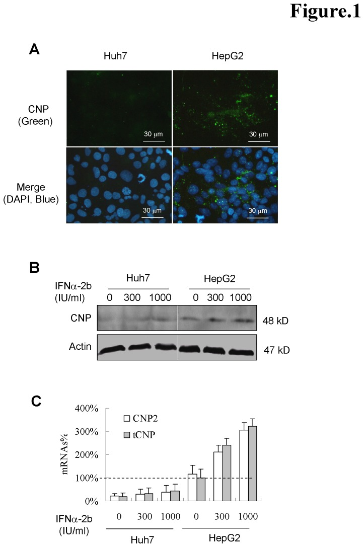 Native expression of CNP in human hepatoma cell lines. (A) The expression of the CNP proteins was studied by immunofluorescence microscopy using the anti-CNP polyclonal rabbit antibody and Alexa Fluor 488-anti-rabbit IgG. The nuclei were counterstained with 4,6-diamidino-2-phenylindole (DAPI). (B) Huh7 and HepG2 cells were cultured without or with 300, 1000 IU/ml of IFNα-2b for 2 days. Cells were harvested and the cell lysates were determined by Western blot analysis. Actin served as a loading control (protein panel). (C) For CNP mRNA quantitative analysis, cDNA pools were synthesized from the 1 μg of total RNA of cells and diluted cDNA was amplified by quantitative real-time PCR. Actin was served as reverse transcription and PCR control. The mRNA% presents the ratio of values of total CNP (tCNP) to that of naive HepG2 cells (n=3).