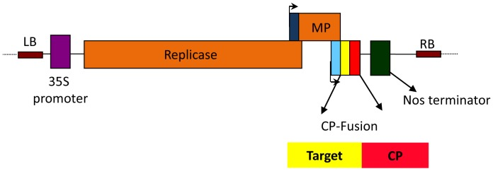 Schematic diagram of the 'launch' vector. Following agroinfiltration of plants, the sequence between the left border (LB) and the right border (RB) of the plasmid vector is transferred from Agrobacteria into plant cells where expression of the engineered TMV genome is driven by the Cauliflower mosaic virus (CaMV) 35S promoter. TMV replicase then drives amplification of primary transcript, and <t>Pfs25-CP</t> accumulation is then driven by the TMV CP subgenomic promoter (light blue box). Movement protein (MP) facilitates cell-to-cell transfer of viral sequences and is driven by the MP subgenomic promoter (dark blue box).