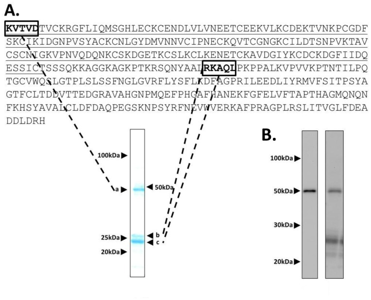 Pfs25-CP VLP purity and identity. (A) Deduced amino acid sequence of Pfs25-CP with Pfs25 sequence underlined. Amino acids boxed in the sequence were identified by N-terminal sequencing of the SDS-PAGE bands indicated. A Coomassie stain of an SDS-PAGE gel highlights the Pfs25-CP fusion polypeptide (arrowhead 'a') and CP monomer polypeptides (arrowheads 'b' 'c'). N-terminal sequencing of 'a' identified the first 5 amino acids of Pfs25, while sequencing of 'b c' identified residue 26 of AlMV CP. (B) Western blot analysis of Pfs25-CP VLPs with an anti-Pfs25 mAb (left panel) and an anti-AlMV CP polyclonal serum (right panel).