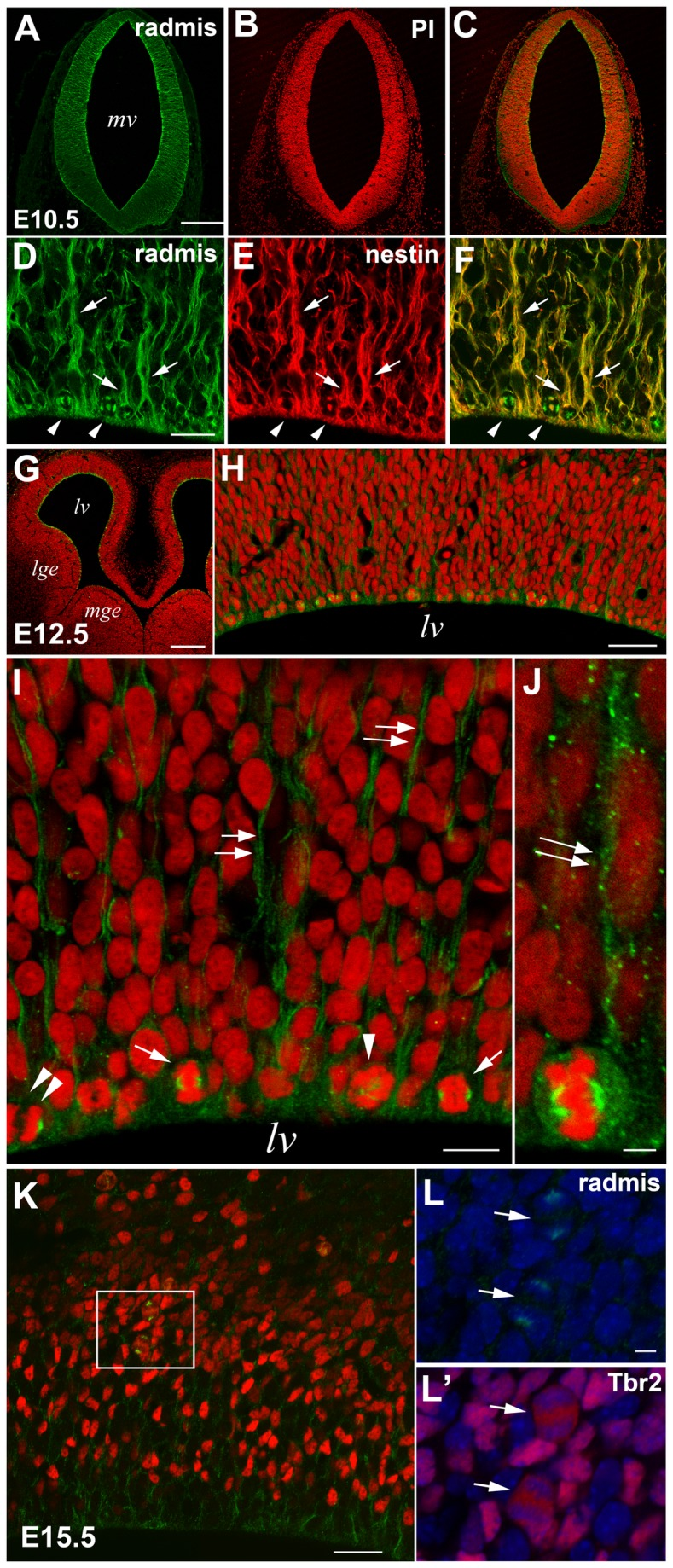 Radmis expression during embryonic CNS development. ( A – C ) E10.5 neural tube of the metencephalon immunostained for radmis ( A , green ) and counterstained with propidium iodide (PI) ( B , red ), showing uniformly distributed radmis in neuroepithelial cells throughout the neural tube. Note the significantly lower immunoreactivity of radmis in the connective tissue outside the neural tube. ( D – F ) Higher magnification view of the ventricular region of an E10.5 neural tube double-stained for radmis ( D , green ) and nestin ( E , red ). Radmis is expressed in the mitotic spindles ( arrowheads ) and nestin-positive radial fibers ( arrows ) of neuroepithelial cells. ( G – J ) E12.5 forebrain immunostained for radmis ( green ) and PI stained ( red ). ( H ) Cerebral neocortex at E12.5. ( I ) Magnified view of the ventricular surface of (H) showing accumulation of radmis in the mitotic spindles ( arrowhead , prometaphase; arrows , metaphase; double arrowhead , anaphase) of dividing NSPCs located at the ventricular surface, and their radial fibers ( double arrows ). ( J ) A dividing NSC at metaphase showing robust distribution of radmis in the mitotic spindle and its extending radial fiber ( double arrows ). ( K – L ) E15.5 neocortex immunostained for radmis ( green ) and <t>Tbr2</t> ( red ). ( L , L ') Higher magnification of the boxed area in K. Arrows depicted the radmis immunoreactivity ( L ) in mitotic spindles of Tbr2 ( L ')-positive dividing cells within the SVZ. Chromosome staining ( blue ) indicated that these two dividing cells were in anaphase. Scale bars: A – C , 250 μm; D – E , 20 μm; G , 200 μm; H , 31 μm; I , 12 μm; J , 3 μm; K , 250 μm; L , 5 μm. lv , lateral ventricle; mge , medial ganglionic eminence; lge , lateral ganglionic eminence.