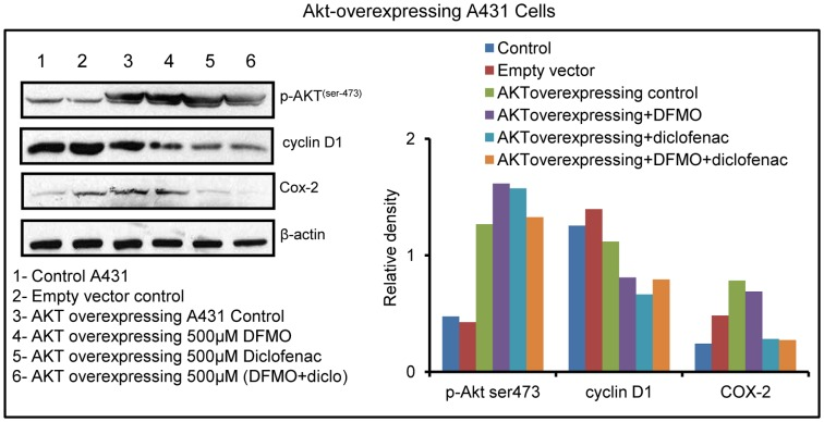 Akt over-expression resists the effect of DFMO+diclofenac. Treatment of myr-flag-Akt overexpressing cells with DFMO and diclofenac resisted the changes in the levels of p-Akt ser-473 and cyclin D1 as compared to empty vector control and wild type A431 cells.