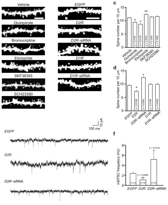 <t>D2R</t> regulates spine development in hippocampal neurons in vivo . Hippocampal slices were prepared for diolistic labeling from 3–week–old C57BL/6 mice intraperitoneally injected with vehicle or with agonists or antagonists of D2R and D1R (a, c), or 4–week–old C57BL/6 mice injected with lentivirus expressing EGFP , D1R , D2R , D1R <t>siRNA</t> or D2R siRNA (b, d, e, f). (a, b) Representative images of DiI–labeled (a) or virus transduced (b) basal dendrites of hippocampal CA1 neurons. (c) Quantification of spine density for (a). (d) Quantification of spine density for (b). n = 3 mice for each condition, and 15 neurons from 3 slices of each animal were imaged for spine analysis in (c) and (d). (e) Sample trace of mEPSCs. (f) Analysis of mEPSC frequency; 5–8 slices from 3–5 animals were used for each condition; n = the total number of recorded neurons. Quinpirole: 0.5 mg/kg; bromocriptine: 10 mg/kg; eticlopride: 0.5 mg/kg; SKF38393: 1 mg/kg; SCH23390: 1 mg/kg. Data are presented as mean ± SEM. Scale bars, 5 μm. Two–tailed Mann–Whitney test was used to calculate p–values.