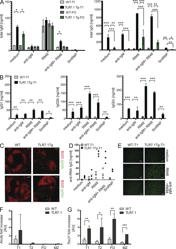 TLR7.1Tg T1 B cells produce class-switched IgG. (A and B) Sorted T1 and FO B cells from WT and TLR7.1Tg mice were cultured for 72 h in RPMI medium or stimulated with anti-IgM (10 µg/ml), R848 (50 ng/ml), or a combination of anti-IgM plus R848 or SmRNP (10 ng/ml). Ab production in cell culture supernatants were analyzed by ELISA. (A) Bar graphs show quantities of total IgM and IgG produced by T1 and FO B cells in response to different stimuli. (B) Bar graphs show quantities of IgG1, IgG2b, and IgG2c produced by T1 B cells in response to different stimuli. The data are presented as mean ± SD from three independent experiments. (C) Splenic sections were prepared from frozen spleens from 5-mo-old WT and TLR7.1Tg mice and stained with anti-B220 and anti-IgG2b and anti-IgG2c Abs. Data show presence of IgG2b + and IgG2c + cells in the splenic RP of TLR7.1Tg mice and are representative of more than four sections analyzed from two mice per genotype. Bars, 100 µm. (D) Sorted T1 B cells from WT and TLR7.1Tg mice were cultured for 72 h in RPMI medium or stimulated with anti-IgM (10 µg/ml), R848 (50 ng/ml), or a combination of anti-IgM plus R848 or SmRNP (10 ng/ml). Anti-RNA IgG titers in cell culture supernatants were analyzed by ELISA. Individual dots represent data from two independent experiments. (E) Representative Hep-2 ANA staining of undiluted culture supernatants from WT or TLR7Tg T1 cells cultured for 72 h in RPMI medium or stimulated with R848, or a combination of anti-IgM plus R848. Data are representative of three independent experiments. Bars, 50 µm. (F and G) T1, T2, FO, and MZ cell subsets from WT and TLR7.1Tg mice were isolated by cell sorting and the expression of Aicda (F) and Tbx21 (G) mRNA were quantified by RT-PCR. Data are presented as fold change of mRNA levels relative to WT T1 cells. Data are average of four mice per genotype (8–12 wk old) and show mean ± SEM. *, P