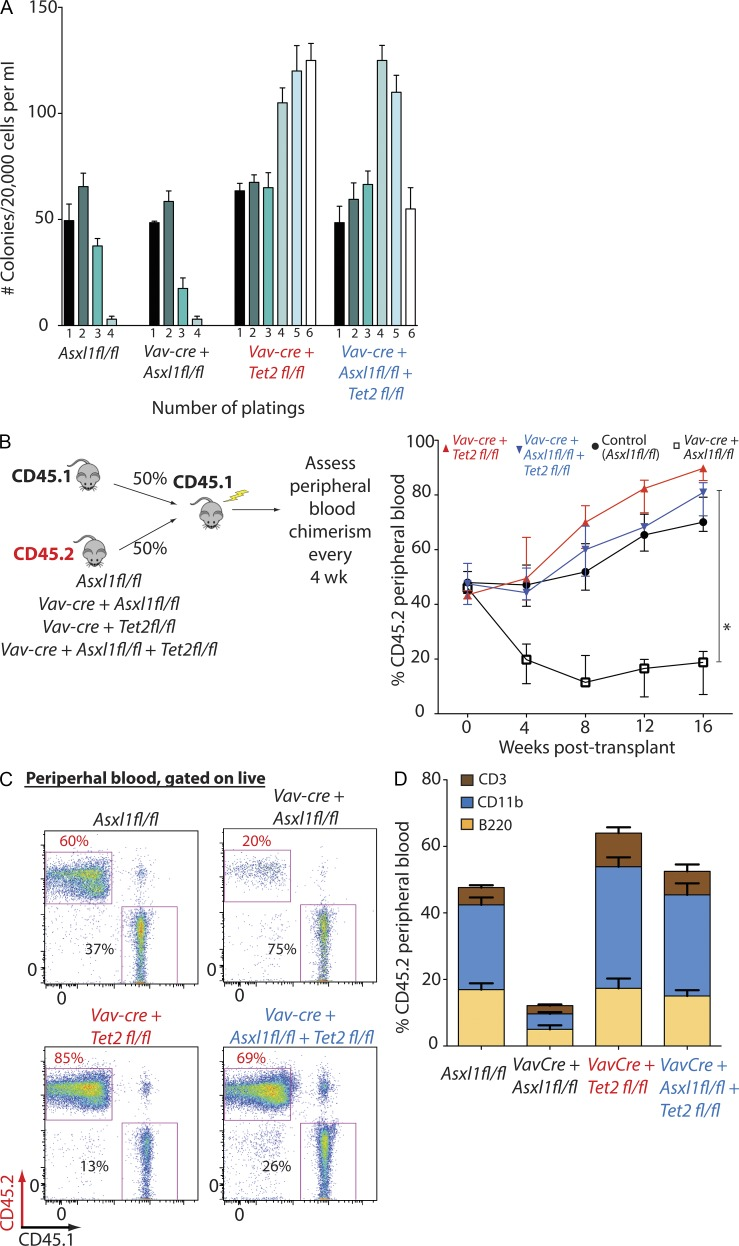 Combined loss of Asxl1 and Tet2 rescues the impaired self-renewal of Asxl1 -deficient HSCs. (A) Enumeration of colonies and serial replating capacity of 20,000 whole BM cells from 6-wk-old littermate mice with hematopoietic-specific deletion of Asxl1 ( Vav-cre Asxl1 fl/fl ), Tet2 (Vav-cre Tet2 fl/fl ), or both ( Vav-cre Asxl1 fl/fl Tet2 fl/fl ). (B) Schematic depiction of the competitive transplantation experiment. Control, Vav-cre Asxl1 fl/fl , Vav-cre Tet2 fl/fl , and Vav-cre Asxl1 fl/fl Tet2 fl/fl cells are positive for CD45.2, whereas WT competitor cells are positive for CD45.1. On the right, monthly assessment of donor chimerism in the peripheral blood of recipient animals is shown up to 16 wk after transplant ( n = 5 recipient mice were used for each genotype and experiment was performed in biological duplicate). 16-wk chimerism was significantly higher in Tet2 −/− transplanted mice compared with all other genotypes. (C) Representative FACS analysis of peripheral blood of mice transplanted with each genotype at 16 wk. Staining schemes are as indicated and parental gate was live cells. (D) Proportion of CD45.2 + peripheral blood cells of each lineage at 16 wk in mice transplanted with each genotype ( n = 5 mice analyzed for each genotype) as determined by FACS analysis. Each competitive transplantation experiment was performed in biological duplicate with five recipient mice per genotype in each experiment. Error bars represent ±SD; *, P