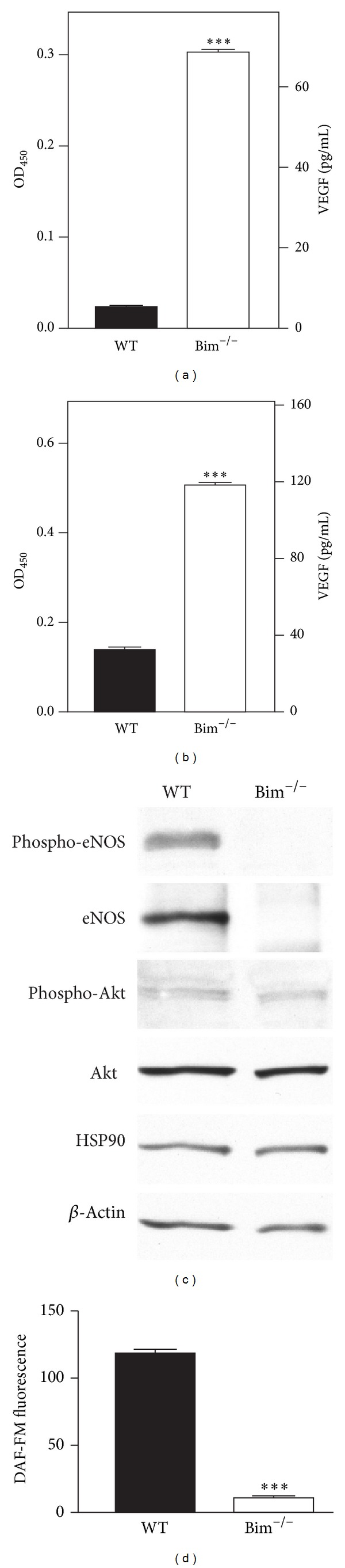Decreased eNOS and increased VEGF expressions in Bim −/− vascular cells. In panels (a) and (b), an immunoassay was used to determine VEGF levels (pg/mL) in retinal endothelial cells (a) and pericytes (b) from wild-type and Bim −/− mice. Protein lysates (20 μ g) from wild-type and Bim −/− retinal endothelial cells were analyzed by Western blot analysis for the expression of phospho-eNOS, eNOS, HSP90, phospho-Akt, and Akt (panel (c)). β -Actin expression was assessed as a loading control (panel (c)). In panel (d), the intracellular NO production was determined as analyzed by DAF-FM fluorescence for retinal endothelial cells. Please note that the increased VEGF expression was independent of eNOS expression in Bim −/− endothelial cells (*** P
