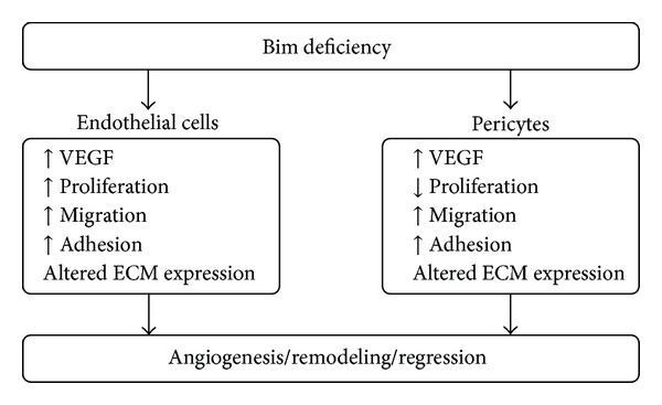 A summary of the modulation of VEGF expression, proliferation, migration, adhesion, and ECM expression in Bim deficient endothelial cells and pericytes.