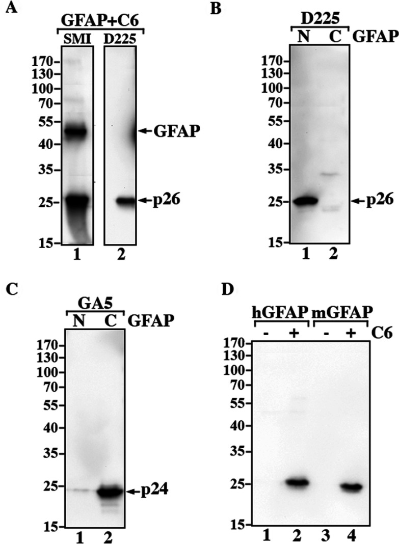 Characterization of caspase cleavage site-specific antibody to N-GFAP ( A ) Caspase-cleaved GFAP was analyzed by immunoblotting with the indicated antibodies. The SMI-21 antibody recognized both intact GFAP and N-GFAP (lane 1), whereas the D225 antibody recognized N-GFAP but not intact protein (lane 2). ( B ) The D225 antibody also recognized purified recombinant N-GFAP (lane 1) but not C-GFAP ( B , lane 2), confirming the specificity of this antibody. ( C ) The presence of C-GFAP was demonstrated by immunoblotting with GA-5 antibody (lane 2). ( D ) Purified recombinant human (lane 1) and mouse GFAP (lane 3) digested with active <t>caspase</t> 6 (lanes 2 and 4) were analyzed by immunoblotting. Notice that the D225 antibody recognized caspase-generated N-terminal fragments from both human (lane 2) and mouse GFAP (lane 4).