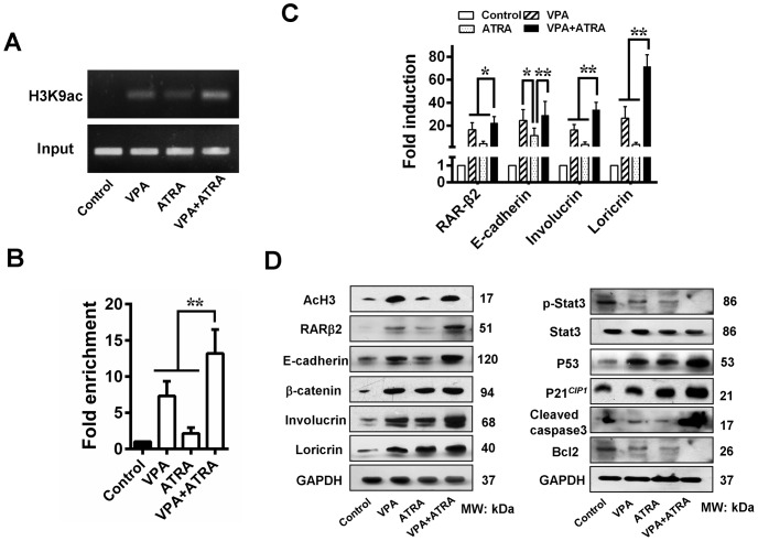 VPA and ATRA promote expression of TSGs. (A) A ChIP assay was used to examine the effect of VPA and ATRA on the level of histone acetylation in the RARβ2-RARE region. (B) A significant increase in RARβ2-RARE enrichment was observed in tumors treated with a combination of VPA and ATRA, indicating that combination treatment restores RARβ2 expression via epigenetic modification. (C) VPA and ATRA restored expression of RARβ2, sequentially enhancing the expression of E-cadherin, involucrin, and loricrin, based on Q-PCR. (D) Immunoblot analysis further showed reactivation of TSGs after treatment with a combination of VPA and ATRA. This treatment resulted in the terminal differentiation and partial apoptosis of the tumour cells in the xenografts. * P