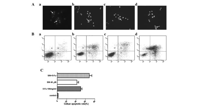 Cellular apoptosis in MKN-28 cells was analyzed by Hoechst 33258 staining and flow cytometry. (A) Apoptotic features were identified by observing chromatin condensation and fragmentation after Hoechst 33258 staining, as indicated by white arrows. (B) Detection of apoptosis via annexin V/PI staining (X-axis, annexin V; Y-axis, PI). The early apoptotic cells were defined as the sum of cells in the lower right quadrant of panel B. In A and B: (a) control; (b) 40μM SIN; (c) 100 mg/l 5-FU; and (d) 20 μM SIN + 50 mg/l 5-FU. (C) The apoptotic rate, as assessed via Hoechst 33258 staining. Bars indicate the mean ± SD (n=3). SIN, sinomenine; 5-FU, 5-fluorouracil; PI, propidium iodide.