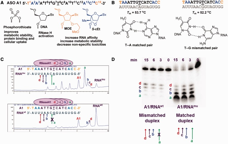 Chemical design and analysis of human RNase H1 cleavage patterns for ASO A1. (A) Chemical design of starting ASO A1, black letters indicate DNA, orange letters indicate MOE and blue letters indicate S -cEt nucleotides; underlined letter is the nucleotide across from the SNP site; all internucleosidic linkages are PS. (B) T m of A1 with matched and mismatched RNA complements representing mu HTT and wt HTT mRNA and structures of the AT cognate and GT wobble base pairs. (C and D) Analysis of human RNase H1 cleavage patterns of the matched duplex (A1/RNA mu ) versus the mismatched duplex (A1/RNA wt ) containing a GT wobble base pair positioned in the center of the PS DNA gap. Peaks labeled a, b, c and d correspond to the RNA fragments arising from human RNase H1 cleavage and are depicted using colored arrows. The cleavage products were analysed using (C) LCMS or (D) gel electrophoresis using 5′-radiolabeled RNA.