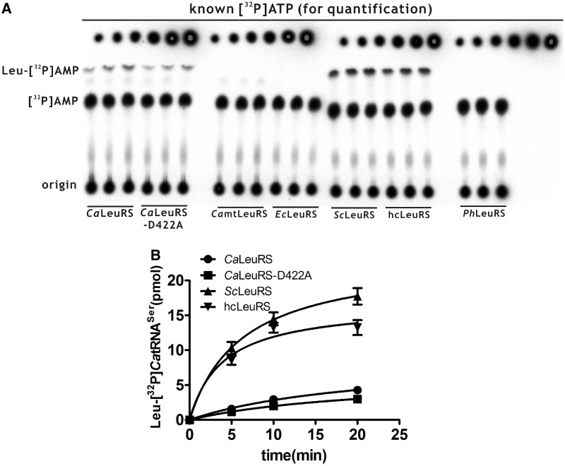 Recognition of Ca tRNA Ser by representative bacterial, yeast, human and archaeal LeuRSs. ( A ) A representative graph showing aminoacylation of [ 32 P] Ca tRNA Leu with Leu by various LeuRSs. The generated Leu-[ 32 P] Ca tRNA Leu or free [ 32 P] Ca tRNA Leu was separated by TLC. Known amounts of [α- 32 P]ATP were serially diluted and loaded onto the TLC plate after separation for quantification. ( B ) Quantitative analysis of Leu-[ 32 P] Ca tRNA Ser generated by Ca LeuRS (black circle), Ca LeuRS-D422A (black square), Sc LeuRS (black up-pointing triangle) and hcLeuRS (black down-pointing triangle). No charged [ 32 P] Ca tRNA Ser was catalyzed by Ca mtLeuRS, Ec LeuRS and Ph LeuRS.