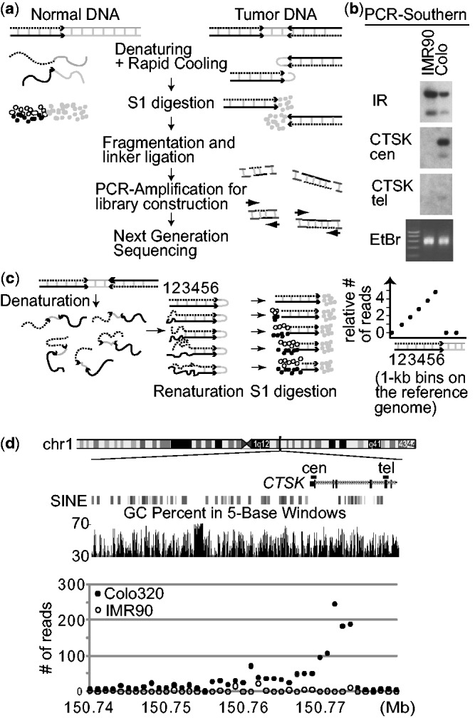 ( a ) A strategy for enriching DNA from palindromic junctions. DNA is shown by either a black, dotted, or gray line, with the black and dotted lines being complementary to each other. ( b ) Southern analyses of the PCR products using probes in the human genome. The locations of probes (CTSK cen and tel) are shown in ( d ). (i) enrichment is only seen in Colo320DM by probe CTSK cen that is within the palindromic junction, but not by probe CTSK tel, and (ii) probes from a naturally existing DNA inverted repeat at chromosome 19p13.2 (chr19:7049026–7058989 in hg19) showed strong enrichment in both IMR90 and Colo320DM. EtBr, ethidium bromide stained gel. ( c ) Schematic drawings show that in vitro fold-back of palindromic DNA after denaturation/renaturation and subsequent digestion by nuclease S1 (left) can results in the steady increase in read depth (per 1 kb bin) toward a palindromic junction (right). The numbers indicate 1 kb bins on the reference genome. (d) The numbers of GAPF-reads/kb in Colo320DM (closed circles) and IMR90 (open circles) are shown for the 50 kb region of chromosome 1 where the CTSK gene is located. Two genomic features (GC content and SINE elements) within the genomic region are also shown.