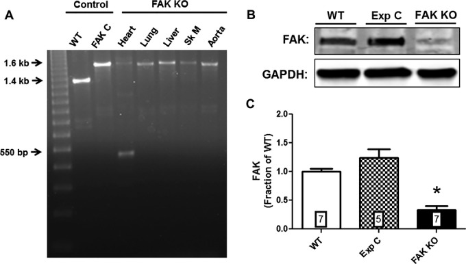 Tamoxifen induced deletion of FAK. A, Genomic <t>DNA</t> of wild‐type (WT) and Cre‐positive floxed FAK mice were amplified by <t>PCR.</t> The WT band is 1.4 kb, the floxed FAK product is 1.6 kb and the postrecombination product is 550 bp. DNA was extracted from cardiac tissue unless otherwise noted. FAK C, Cre‐positive floxed‐FAK mouse not treated with tamoxifen; Sk M, skeletal muscle. B, Representative Western blot showing FAK protein expression in lysates of isolated adult cardiac ventricular myocytes from wild‐type (WT), experimental control (Exp C), and FAK KO mice. C, Normalized integrated intensity data for myocyte FAK expression in WT, Exp C and FAK KO mice. FAK expression in FAK KO mice was reduced by 66.5% compared to WT mice ( P ≤0.001; n=7 hearts, both groups) and by 73% compared to Exp C mice ( P ≤0.001; n=5 hearts [Exp C], n=7 hearts [FAK KO]). Numbers within bars indicate sample size of each group. Exp C indicates experimental control; FAK, focal adhesion kinase; KO, knock out; PCR, polymerase chain reaction.