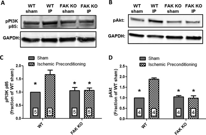 FAK KO abrogates IP‐induced PI3K/Akt signaling. Representative Western blots showing (A) pPI3K p85; (B) pAkt expression in lysates from hearts of WT and FAK KO mice subjected to either the IP protocol or a sham procedure; (C) normalized integrated density data for cardiac pPI3K p85 expression; and (D) pAkt expression. In WT mice IP significantly enhanced pPI3K p85 expression by 67.2% ( P ≤0.01; n=5 hearts, both groups) and pAkt expression by 88.8% ( P ≤0.001; n=4 hearts, both groups) versus WT mice subjected to the sham experimental protocol. pPI3K p85 and pAkt expression in FAK KO mice subjected to the IP protocol was not significantly different from their expression in either WT or FAK KO sham hearts. FAK indicates focal adhesion kinase; IP, ischemic preconditioning; KO, knock out; PI3K, phosphatidylinositol‐3‐kinase; WT, wild‐type.