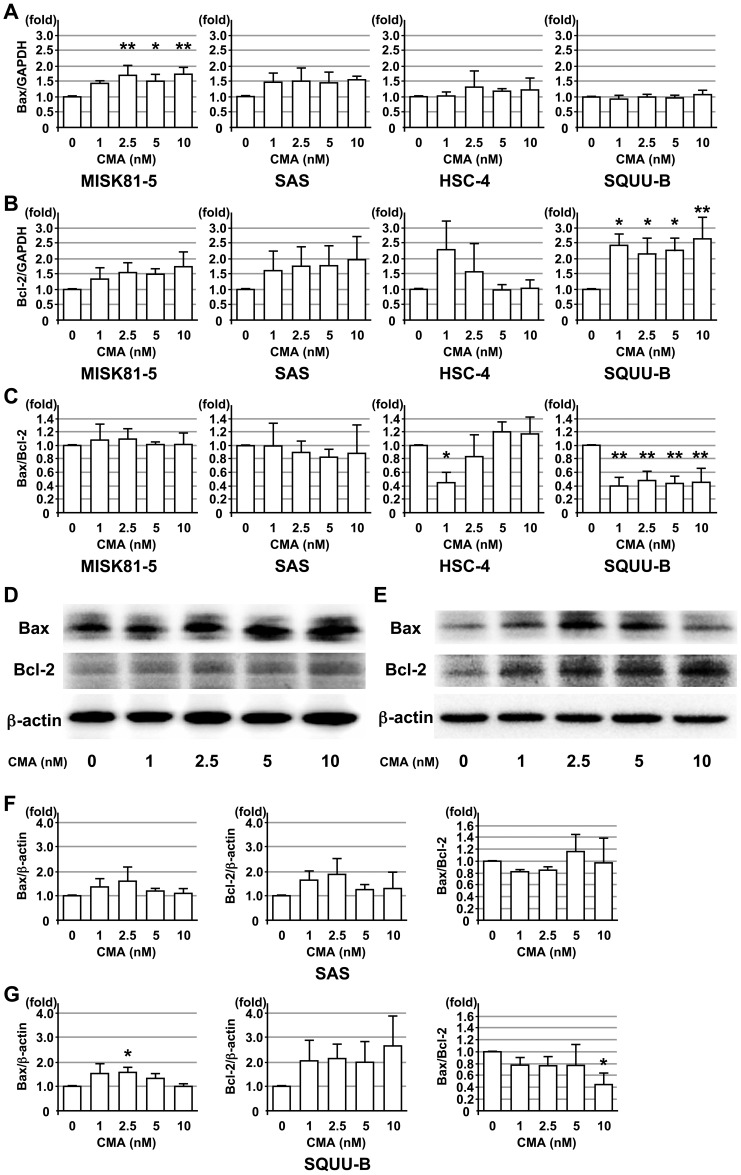 Effects of CMA on the expression of pro- and anti-apoptotic genes and proteins in OSCC cells. OSCC cell lines, MISK81-5, SAS, HSC-4 and SQUU-B cells, were treated with or without CMA. The Bax ( A ) and Bcl-2 ( B ) mRNA expression levels were analyzed at 24 hr after CMA treatment by qRT-PCR. The Bax/Bcl-2 ratio ( C ) in each OSCC cell line was calculated based on the qRT-PCR data. GAPDH was used as internal control for the experiment. The Bax and Bcl-2 protein expression levels in the SAS ( D ) and SQUU-B ( E ) cell lines were analyzed at 24 hr by a Western blot analysis. The Bax level, Bcl-2 level and Bax/Bcl-2 ratio was calculated based on the intensity of the bands in the SAS ( F ) and SQUU-B ( G ) cell lines. β-actin was used as an internal control for the experiment. Columns , means of at least triplicate experiments; bars, SD. * and ** denote p