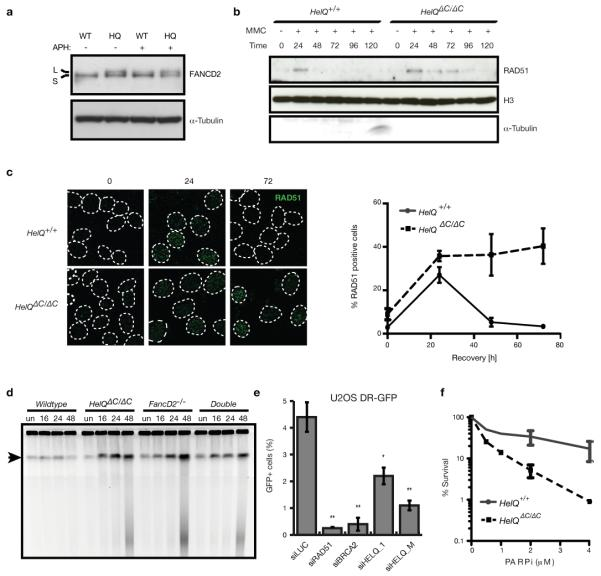 HELQ influences DNA repair and HR efficiency a , Lysates from immortalized mouse cells, grown under physiological O 2 and treated ± 3 μM APH for 6 hr, were probed for FANCD2. Wild-type (WT); HELQ-deficient (HQ); unmodified (S) and ubiquitinated (L) forms of FANCD2 . b , Chromatin fractions from immortalized mouse cells, probed for RAD51, histone H3 and α-tubulin at the indicated time points (hr) following treatment with ± 100 ng/ml MMC. c , Left panel, representative images of RAD51 focus formation in immortalized mouse cells at the indicated time points (hr) following treatment with 1 μM MMC. Right panel, quantification of RAD51 foci at the indicated time points. d , Pulsed field gel electrophoresis of genomic DNA from immortalized cells treated ± 1 μM MMC for 1 hr and recovered for the indicated number of hr. Undamaged (un). Wells: intact DNA; arrow: band containing large chromosomal fragments (10-0.45 Mb); below arrow: smaller fragments, resolved by size. e , HR frequencies in DR-GFP reporter cells treated with the indicated siRNAs. f , Clonogenic survival assays of immortalized mouse cells exposed to PARPi.