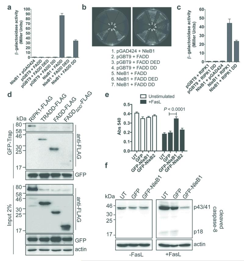 NleB1 binds death domain proteins and inhibits caspase-8 activation a , Yeast two-hybrid analysis of protein-protein interactions in S. cerevisiae PJ69-4A. Results are mean ± SEM β-galactosidase activity from at least three independent experiments performed in triplicate. b , Growth of S. cerevisiae PJ69-4A on medium to select for protein-protein interactions (left panel) or plasmid maintenance (right panel). Representative images from at least three independent experiments c , Yeast two-hybrid analysis of protein interactions in S. cerevisiae PJ69-4A. Results are mean ± SEM β-galactosidase activity from at least three independent experiments performed in triplicate. d , GFP-Trap® of GFP-NleB1 and detection of FADD-FLAG, TRADD-FLAG and RIPK1-FLAG in HEK293T cells. Actin; loading control. Representative immunoblot from at least three independent experiments e , MTT reduction in HeLa cells expressing GFP, GFP-NleB1 or GFP-NleB2. UT, untransfected. Results are the mean ± SEM of absorbance at 540 nm from three independent experiments performed in triplicate. * P