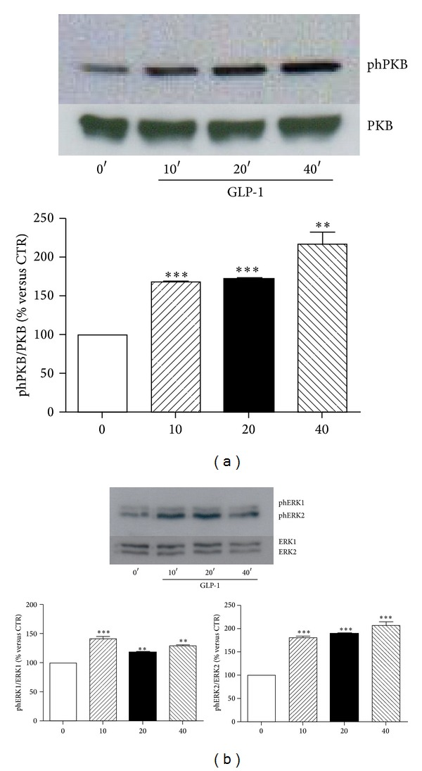 GLP-1 phosphorylates the intracellular signalling proteins PKB and ERK1/2. ARPE-19 cells were cultured in serum-free medium for 24 hours and stimulated with control medium (0′) or for 10, 20, and 40 minutes with 10 nmol/L GLP-1. Then, cells were then lysed and tested for phosphorylation and total protein of PKB (a) and ERK1/2 (b). Upper panel: representative western blot analysis of three different experiments is shown. Lower panel: densitometries of western blot bands. Data were expressed as mean ± SE of fold induction relative to total protein ( n = 3). ** P
