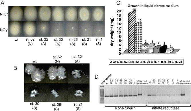 A. Laccaria wild‐type dikaryon and six pHg/pSILBAγ/NITRLoop‐transformed strains grown for 23 days on solid medium with ammonium or nitrate as N sources. Growth categories: N, non‐affected; A, affected; S, strongly affected. B. Growth of wild type and transformants in liquid nitrate medium after 22 days. C. Dry weight of mycelia produced by wild type and six pHg/pSILBAγ/NITRLoop‐transformed strains in liquid nitrate medium after 22 days. D. Reverse transcription polymerase chain reaction (RT‐PCR) expression analysis of L. bicolor nitrate reductase‐encoding gene (protein ID 254066). Total RNA from mycelia of Laccaria S238N wild type and six pHg/pSILBAγ/NITRLoop‐transformed strains was isolated and used for first‐strand cDNA synthesis. A PCR was performed with first‐strand cDNA as template and between 25 and 30 cycles of amplification with alpha tubulin (control gene, protein ID 192524) and nitrate reductase primers. The picture shows fragments amplified after 30 cycles of PCR. For details see Experimental procedures .