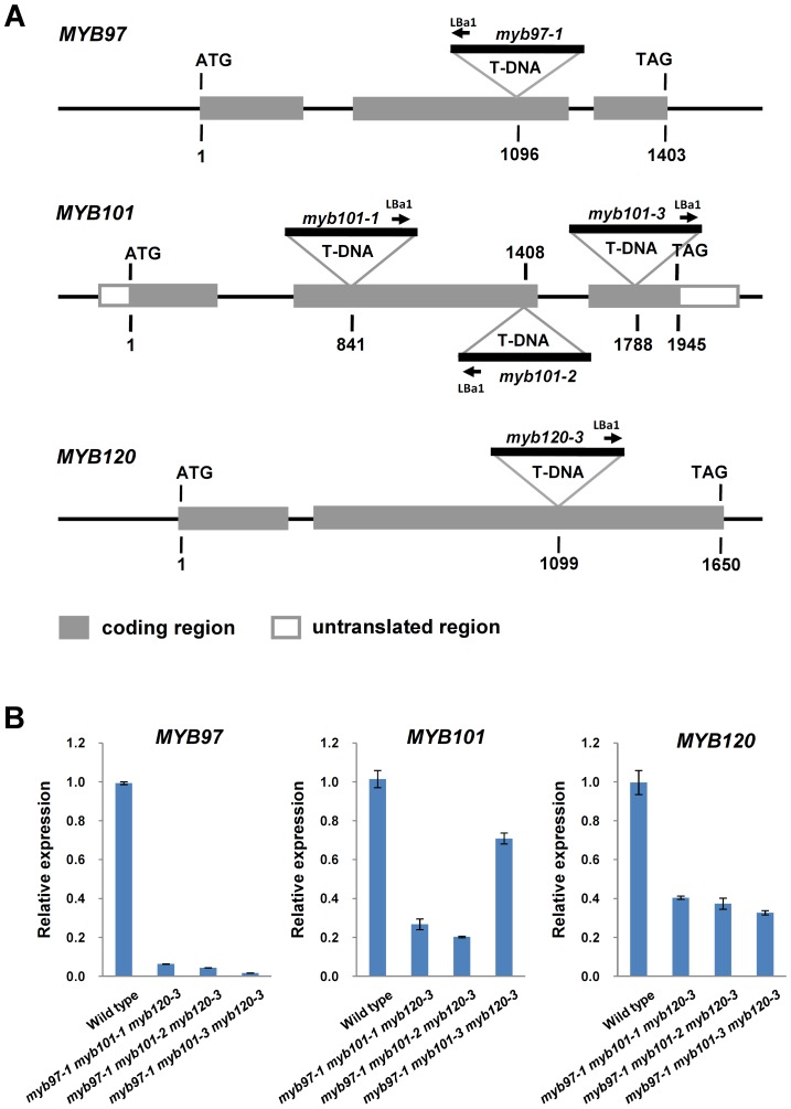 Molecular characterization of myb97 , myb101 and myb120 mutants. ( A ) Schematic diagrams of the MYB gene structures and T-DNA insertion sites in the mutants. The gray and white boxes indicate the translated and untranslated regions, respectively. ( B ) The expression levels of MYB97 , MYB101 and MYB120 genes in wild type (WT) and the triple homozygous mutants, as revealed by qRT-PCR.