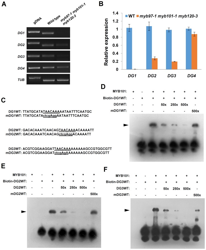 MYB101 binds to the MYBGAHV ( TAACAAA ) cis -element in the DG1 , DG2 and DG3 promoters in vitro . ( A ) to ( B ) The expression of DG1 , DG2 , and DG3 were significantly reduced in the myb97 myb101 myb120 triple mutant, as revealed by RT-PCR ( A ) and qRT-PCR ( B ). ( C ) The sequences of the oligonucleotides used in the EMSA experiments. DG1WT, DG2WT and DG3WT are the wild-type versions of the MYBGAHV ( TAACAAA ) cis -elements (underlined) in the DG1 , DG2 and DG3 promoters, respectively. The TAACAAA motifs were mutated as indicated by lowercase letters in the mDG1WT, mDG2WT and mDG3WT sequences. ( D ) MYB101 is able to bind to the MYBGAHV cis -element ( TAACAAA ) in the DG1 promoter. Lanes 1 and 2 show reactions to which the MYB101 protein or the biotin-labeled DG1WT oligonucleotide was added, respectively. As shown in lane 3, a shift (black triangle) was observed when the MYB101 protein was added to the reaction containing the biotin-labeled DG1WT oligonucleotide. Lanes 4 to 7 show reactions in which unlabeled oligonucleotides were added to the binding reactions to compete with biotin-labeled DG1WT oligonucleotide. The competition becomes increasingly apparent with the unlabeled DG1WT oligonucleotide added at 50×, 250× and 500× molar excess in lanes 4, 5 and 6, respectively. Lane 7 shows that the unlabeled mDG1WT oligonucleotide competed only weakly, even at 500× molar excess. These results were reconfirmed in independent EMSA experiments. ( E ) MYB101 is able to bind to the MYBGAHV cis -element in the DG2 promoter. The binding reaction containing the MYB101 protein and the biotin-labeled DG2WT oligonucleotide causes a clear shift. The unlabeled DG2WT oligonucleotide competed fully at 500× molar excess. No competition was observed when the unlabeled mDG2WT oligonucleotide was used at 500× molar excess. These results were reconfirmed in independent EMSA experiments. ( F ) MYB101 is able to bind to the MYBGAHV cis -element in the DG3 promoter. The biotin-labeled D