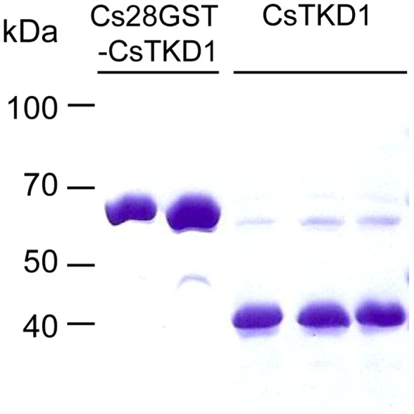 Purification of recombinant CsTKD1 by on-bead cleavage. Cs28GST-CsTKD1 was loaded to a glutathione sepharose 4B column and cleaved with thrombin. The cleaved-off CsTKD1 was eluted with PBS.