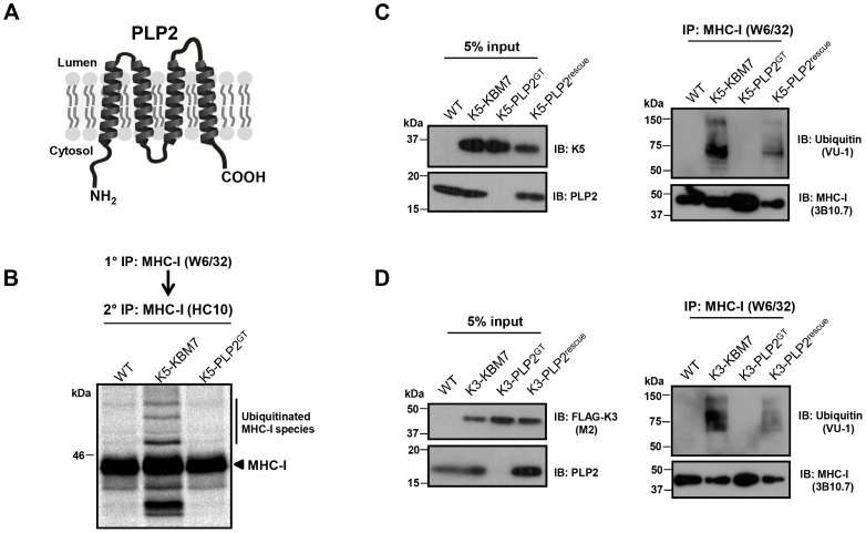 PLP2 is required for K3 and K5 to ubiquitinate their substrate MHC-I. ( A ) Schematic representation of PLP2 topology. ( B–D ) K3 and K5 are unable to ubiquitinate MHC-I in the absence of PLP2. In ( B ), the indicated cell lines were pulse-labelled for 10 minutes with [ 35 S]-methionine, chased for 45 minutes, and MHC-I immunoprecipitated with the conformationally sensitive W6/32 mAb, and after dissociation and denaturation in 1% SDS, MHC-I molecules re-precipitated with the anti-MHC-I heavy chain mAb HC10, resolved by SDS-PAGE and analysed by autoradiography. In ( C ) and ( D ), MHC-I molecules were immunoprecipitated with the W6/32 mAb from the indicated cell types, and ubiquitinated MHC-I species were detected by immunoblot using the anti-ubiquitin antibody VU-1 (right panels) and the input cell lysates blotted for the indicated proteins (left panels).