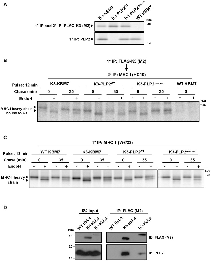 PLP2 is required for the export of a K3•MHC-I complex from the ER. ( A ) Validation of the cell lines used for the experiment. FLAG-K3 and PLP2 were immunoprecipitated from the indicated [ 35 S]-methionine pulse-labelled cell types, resolved by SDS-PAGE and analysed by autoradiography. ( B ) K3-bound MHC-I remains EndoH-sensitive in the absence of PLP2. The indicated cell types were [ 35 S]-methionine pulse-labelled for 12 min, chased for the indicated times and solubilised in 1% digitonin. FLAG-K3 was immunoprecipitated using the anti-FLAG M2 mAb, dissociated in 1% SDS, MHC-I molecules re-precipitated with the anti-MHC-I heavy chain mAb HC10 and then either EndoH (+) or mock digested (−) before the samples were resolved by SDS-PAGE and analysed by autoradiography. ( C ) Loss of PLP2 does not affect the normal MHC-I synthetic pathway. Free [ 35 S]-methionine labelled MHC-I molecules were immunoprecipitated from the post-M2 supernatants (from B) using the W6/32 mAb, EndoH (+) or mock digested (−), and analysed by SDS-PAGE and autoradiography. ( D ) PLP2 co-immunoprecipitates with K3 and K5. FLAG-K3 and K5 were immunoprecipitated from digitonin lysates of HeLa cells using the anti-FLAG M2 mAb, and co-immunoprecipitated PLP2 detected by immunoblot.