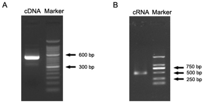 Agarose gel electrophoresis of HTNV cDNA and cRNA. ( A ) cDNA with a length of 516 bp was synthesized by reverse-transcription and subsequently amplified by PCR. Marker: 50 bp DNA ladder. ( B ) HTNV cRNA with a length of 499 bp was synthesized using the cDNA as template by in vitro transcription. Marker: DNA ladder DL2000.