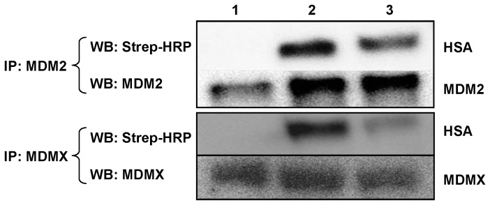 rHSA-P53i and rHSA-PMI bind to MDM2 and MDMX. To detect the interaction between MDM2/MDMX and rHSA fusion proteins, 4 µg each of biotinylated rHSA (lane 1), rHSA-P53i (lane 2), or rHSA-PMI (lane 3) were added to 200 µg of SJSA-1 whole cell lysate. MDM2 or MDMX antibody was added to the lysate followed by pulling down MDM2/MDMX and rHSA complexes using Protein A/G (1:1) resins. Samples were then analyzed by SDS-PAGE and Western blotting using MDM2, MDMX, and Streptavidin-HRP (Strep-HRP) antibodies.