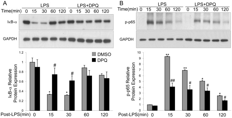 DPQ inhibits degradation of <t>IκB-α</t> and subsequent activation of NF-κB in macrophages. Macrophages were stimulated with LPS for indicated time and lysed for protein extraction. The expressions of IκB-α (A) and phosphorylation of NF-κB p65 (B) were detected by Western blot. The experiment was repeated for 3 times with similar results. Upper panel shows the representative immunoblot and lower panel shows the quantitative analysis of the protein expression. Data are expressed as mean ± SEM; n = 3 * P