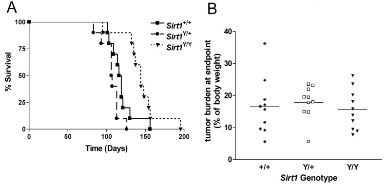 Abrogation of SIRT1 catalytic activity does not prevent mammary tumor formation in the MMTV-PyMT mouse model of breast cancer. A ) Kaplan Meir plot showing the percentage of surviving animals over time. N= 10 mice per genotype. Sirt1 Y/Y animals had a significantly longer overall survival time than the Sirt1 +/+ and the Sirt1 Y/+ mice (p