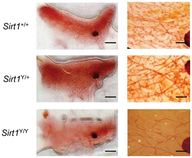 Abolition of SIRT1 enzymatic activity results in blunted ductal morphogenesis in the mammary gland. Right panel, representative photographs of whole mounts of the 4 th abdominal mammary gland in Sirt1 +/+ , Sirt1 Y/+ and Sirt1 Y/Y mice at eleven weeks of age (scale bar, 5mm). Left panel, a higher magnification view of the ductal network in representative mammary gland whole mounts of the 4 th abdominal mammary gland in Sirt1 +/+ , Sirt1 Y/+ and Sirt1 Y/Y mice at eleven weeks of age. 400X magnification (scale bar, 0.7 mm).