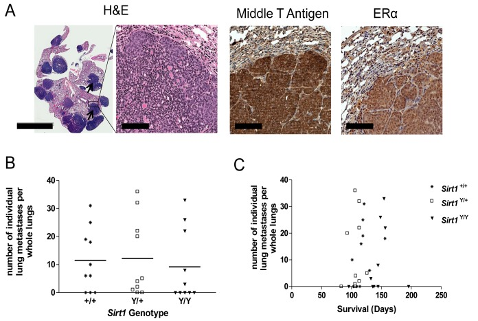 Loss of <t>SIRT1</t> catalytic activity does not affect metastasis. A ) Mouse lungs displaying metastatic nodules (arrows) (H E, left, scale bar 5 mm, right, scale bar 100 μm) and metastatic nodules stained via immunohistochemistry for polyoma middle T antigen and ERα (scale bar 100 μm) B ) The number of individual metastatic nodules in whole lung H E sections assessed at endpoint. Eight 10µm sections spaced 50µm apart were evaluated in each mouse. N=10 mice per genotype. Points represent individual animals and bars represent the mean number of metastatic nodules. C ) The average number of individual metastatic nodules in whole lung H E sections assessed at endpoint correlated with overall survival time in days.