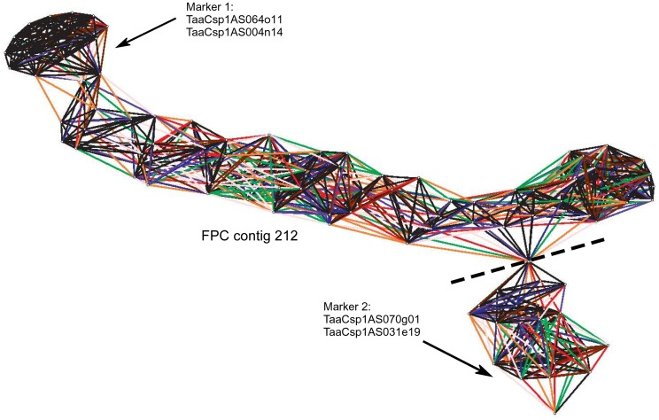 Pajek analysis of BAC contigs from chromosome 1AS assembled with the FPC software. Repetitive BAC clones within the BAC fingerprints were problematic for the FPC assembly, leading to non-linear contig patterns. The reassembly of fingerprints using the LTC assembly program resolved non-linear contigs. The dashed line indicates where the non-linear contig was cut into two contig segments, because the two segments are only connected by a single BAC clone (indicated by all connections converging in one point.