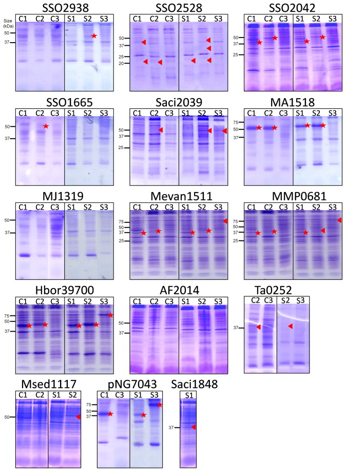SDS-PAGE analysis of archaeal membrane transport proteins in E. coli membranes. Membrane transport protein genes cloned into pTTQ18, pET52b and pWarf were tested in two E. coli host strains, C43(DE3) and BL21 Star. Membranes were analysed by SDS-PAGE. C - C43(DE3), S - BL21 Star, 1 - pTTQ18, 2 - pET52b(+), 3 - pWarf(-). Positions of the His-tagged protein determined by Western blotting (see Figure 3 ) are indicated by: triangle - protein detected by Western blotting but not visible on SDS-PAGE; star - protein detected by Western blotting and visible on SDS-PAGE gels.