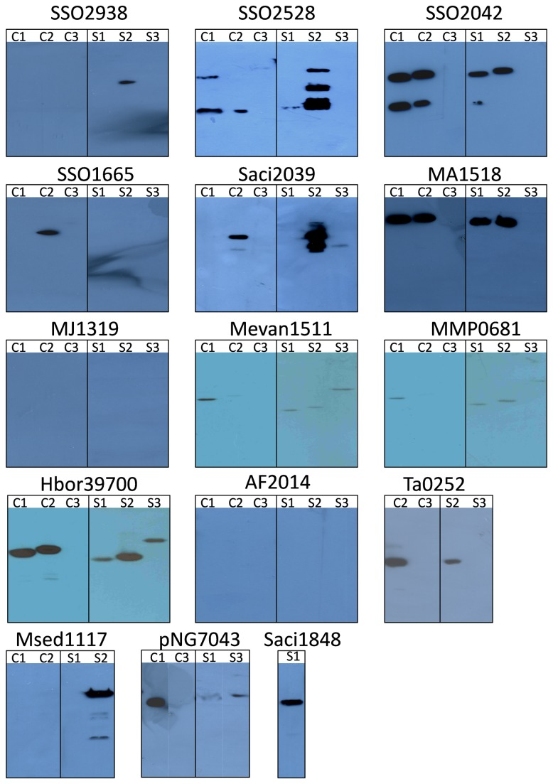 Western blot analysis of archaeal membrane transport proteins in E. coli membranes. Membrane transport protein genes cloned into pTTQ18, pET52b and pWarf were tested in two E. coli host strains, C43(DE3) and BL21 Star. Membranes were analysed Western blotting. C - C43(DE3), S - BL21 Star, 1 - pTTQ18, 2 - pET52b(+), 3 - pWarf(-).