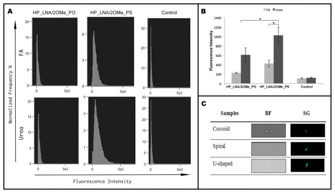 FISH detection of H.pylori by imaging flow cytometry. FAM labeled 2OMe/LNA probes were analysed in 50% (v/v) formamide buffer and in 4M buffer. A) Representative histograms of the green fluorescence intensity of FAM-labeled HP_LNA/2OMe_PO, HP_LNA/2OMe_PS probes and controls. B) Quantification of the mean fluorescence intensity of each probe in two independent experiments obtained by flow cytometry. C) Representative images of individual H. pylori with different morphologies. The population identified as individual H. pylori bacterium by FISH analysis was manually examined and individual cell events were identified. Individual bacterial cells, shown by Brightfield images (BF, left column) and green fluorescence images (SG, right column).
