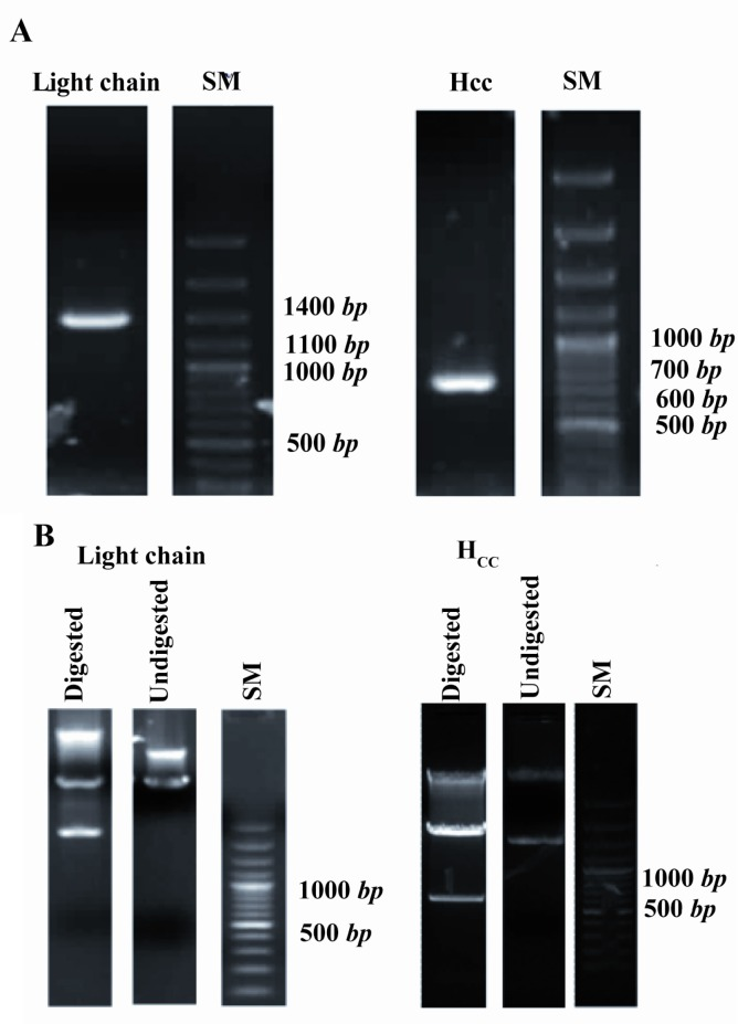 PCR amplification and restriction enzyme digestion of light chain and H CC coding sequences. Agarose gel electrophoresis of PCR products of light chain and H CC fragments confirms their 1371 and 621 bp size, respectively; A) Double digestion of pET28b(+) light chain and H CC with <t>BamHI</t> and <t>HindIII</t> endonucleases indicates insertion of these two gene segments into the expression vector; B) SM: DNA size marker, bp : base pair